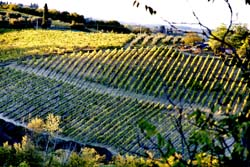 Tuscan Vineyards 1