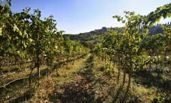 Tuscan Vineyards 5